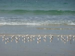 Les mouettes sur la plage de saint-germain-sur-ay